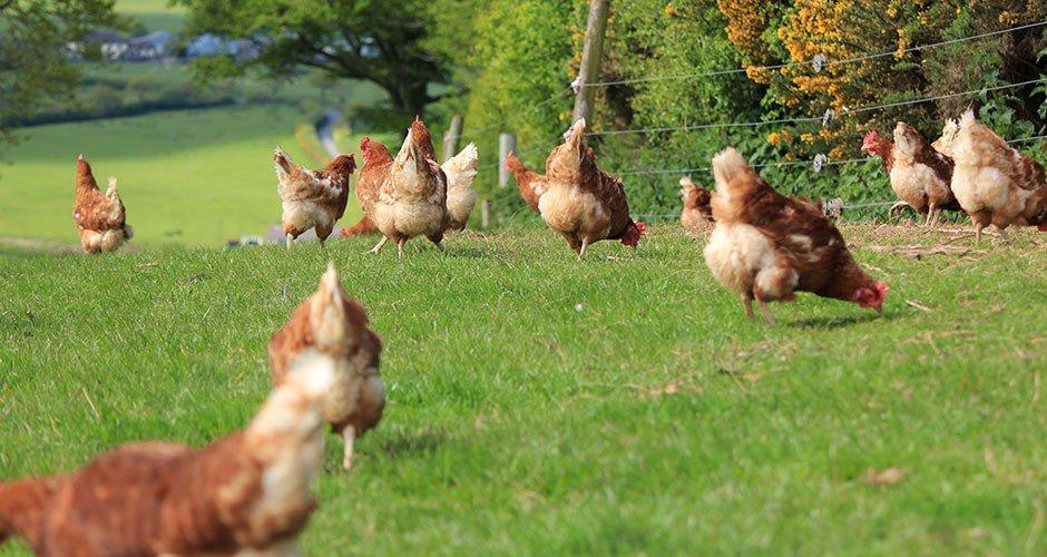 The hens are enjoying the sun
